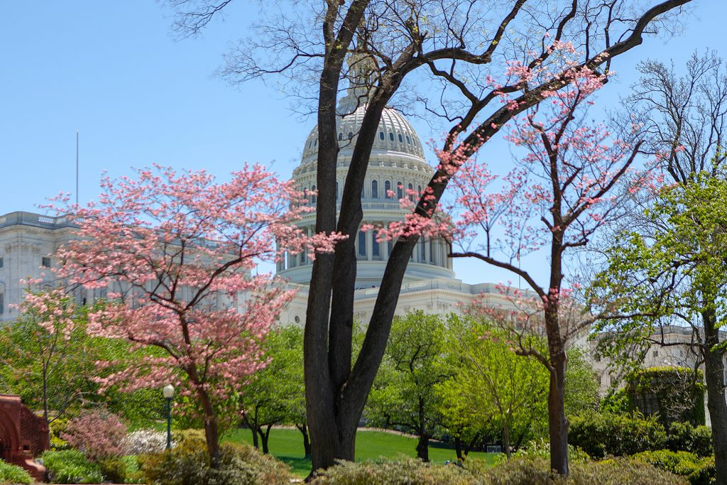 Das Capitol hinter blühenden Bäumen